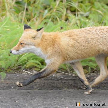 人間の餌付けが無くても道路にキツネが近付いてしまう原因 Cause the fox approaches the road even if there is no human feeding