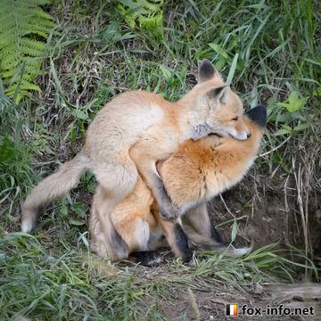 子ぎつねが行うマウンティングについての考察。 Consideration on mounting performed by fox puppies.