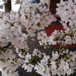 一足早く桜を咲かせて。