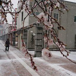 雪と桜とサンシュユ