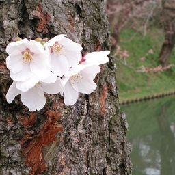 桜は咲きました。梅は満開です。